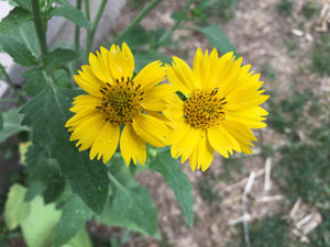 rivermossreiki-two-yellow-flowers-sm