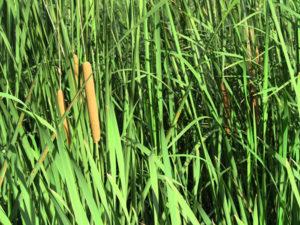 rivermossreiki-cat-tails-grasses2