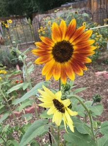 rivermossreiki-sunflowers-2-2016